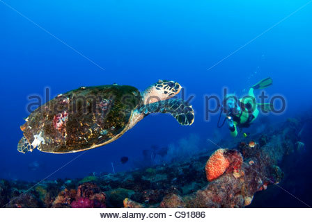 Hawksbill Turtle (Eretmochelys Imbricata) at the SS Yongala Shipwreck Great Barrier Reef QLD Australia - Stock Photo