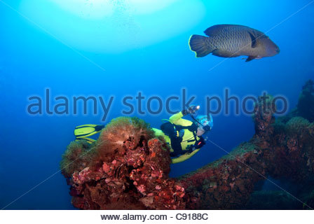 Scuba diving with a Humphead Wrasse (Cheilinus undulatus) at the SS Yongala ship wreck Great Barrier Reef - Stock Photo