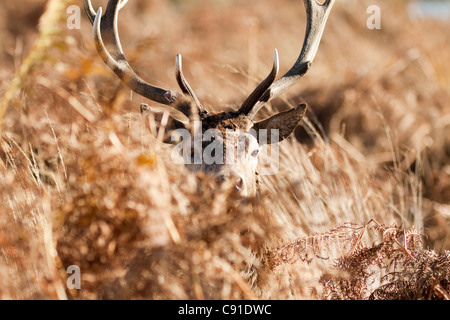Red deer stag, Curvus elaphus, Richmond park, autumn/fall, Surrey, England, UK - Stock Photo