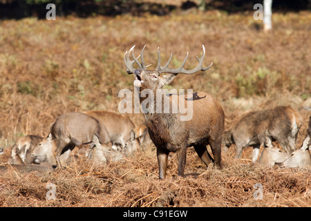 Red deer stag roaring/bellowing during the rut, Curvus elaphus, Richmond park, autumn/fall, Surrey, England, UK - Stock Photo