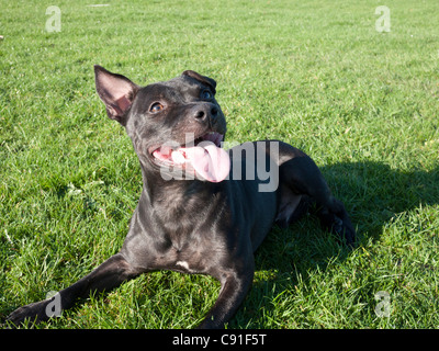 Staffordshire Bull Terrier lying on lawn,England, UK. - Stock Photo