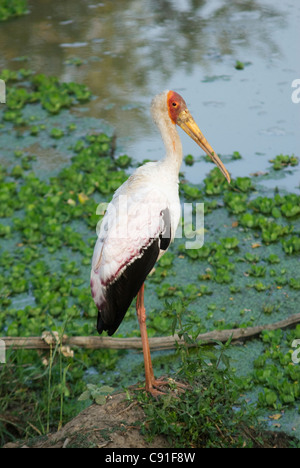Maribou Stork can be seen in South Luangwa Game Reserve. - Stock Photo