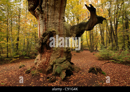 Old oak, nature reserve Urwald Sababurg at Reinhardswald, near Hofgeismar, Hesse, Germany - Stock Photo