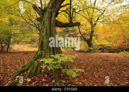 Old hornbeam, nature reserve Urwald Sababurg at Reinhardswald, near Hofgeismar, Hesse, Germany - Stock Photo