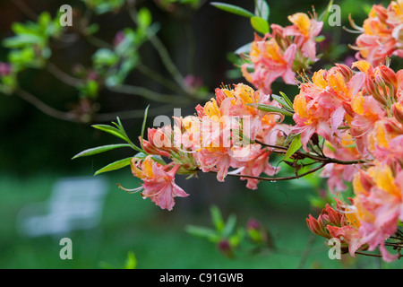 Flowering azaleas in full bloom in Breidings garden, Soltau, Lower Sayony, Germany - Stock Photo