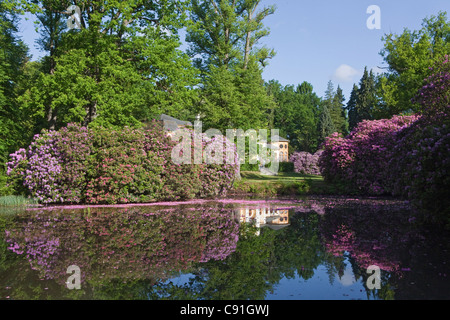 Pink rhododendron petals floating in the water, landscape garden, Breidings garden, Soltau, Lower Saxony, Germany - Stock Photo