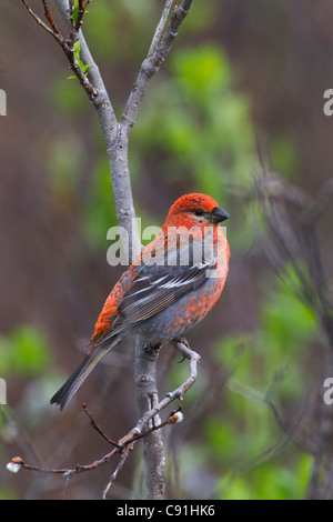 Male Pine Grosbeak perched on Willow branch, Copper River Delta, near Cordova, Southcentral Alaska, Spring - Stock Photo