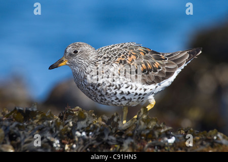 Surfbird perched on rock during spring migration, Port Gravina, Prince William Sound,Southcentral Alaska, Spring - Stock Photo