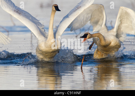 Trumpeter swans chasing each other in a territorial dispute, Copper River Delta, near Cordova, Southcentral Alaska, Spring
