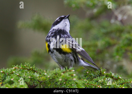 Yellow-rumped Warbler perched on a Hemlock tree, Copper River Delta, near Cordova, Southcentral Alaska, Spring - Stock Photo