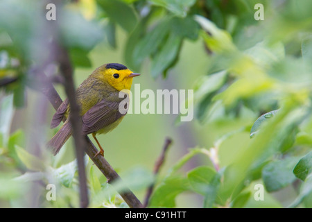 A male Wilson's Warbler perched in a willow, Copper River Delta, near Cordova, Southcentral Alaska, Spring - Stock Photo