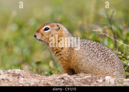 Arctic Ground Squirrel stands at the entrance to its burrow, Arctic Valley, Chugach State Park, Southcentral Alaska, - Stock Photo
