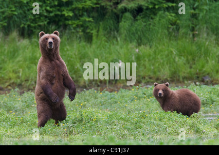 Brown bear sow standing alert with yearling cub in background, Prince William Sound, Southcentral Alaska, Summer - Stock Photo