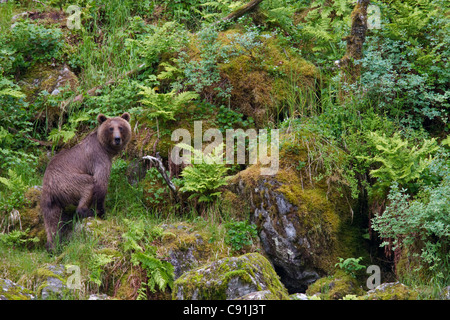 Brown bear standing on moss covered rock along shoreline, Prince William Sound, Southcentral Alaska, Summer - Stock Photo
