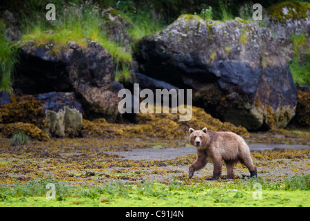 Brown bear walking on tidal flat at low tide with large boulders in background, Prince William Sound, Southcentral - Stock Photo