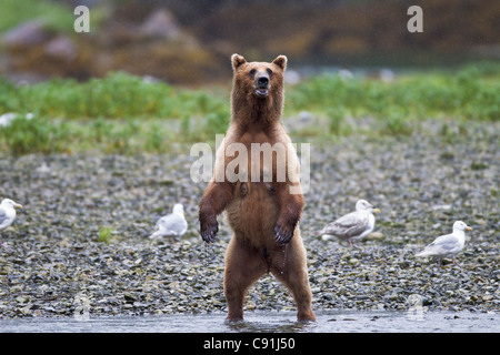 Brown bear sow standing alert on riverbank, Prince William Sound, Southcentral Alaska, Summer - Stock Photo