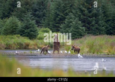 Brown bear sow with two cubs standing alert on riverbank, Prince William Sound, Southcentral Alaska, Summer - Stock Photo