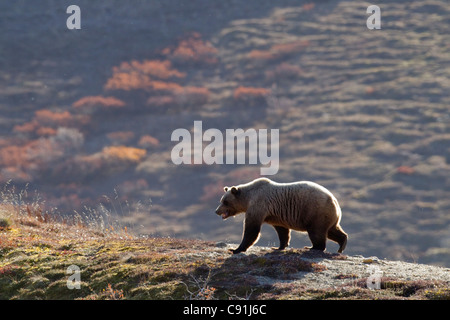 Grizzly bear walking on ridge with mountainside in Fall colors in background, Denali National park, Interior Alaska, - Stock Photo