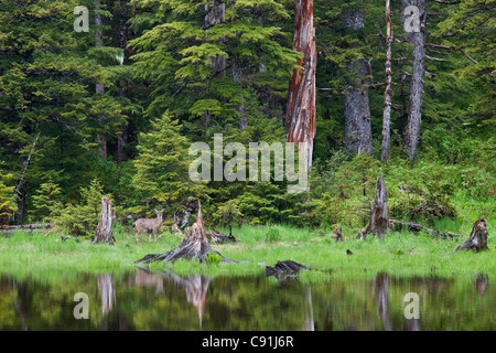 Sitka Black-tailed deer standing by pond in the rainforest, Hinchinbrook Island, Prince William Sound, Southcentral - Stock Photo