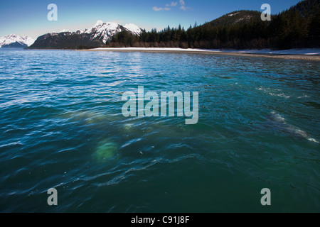 Gray Whale visible in shallow water feeding on herring spawn, Port Gravina, Prince William Sound, Southcentral Alaska, - Stock Photo