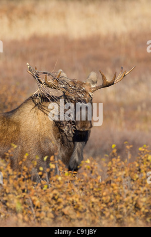 Young bull moose brush snagged in antlers during rut, Denali National Park, Interior Alaska, Autum - Stock Photo