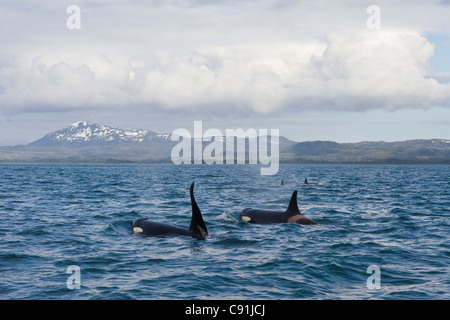 Killer Whale pod with large male swimming in front of Hawkins Island in Prince William Sound, Southcentral Alaska, - Stock Photo
