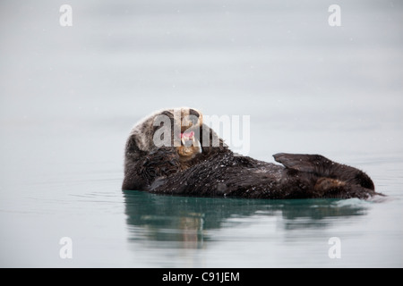 Sea otter floating on back and rubbing cheeks with paws exposing teeth, Prince William Sound, Southcentral Alaska, Winter Stock Photo