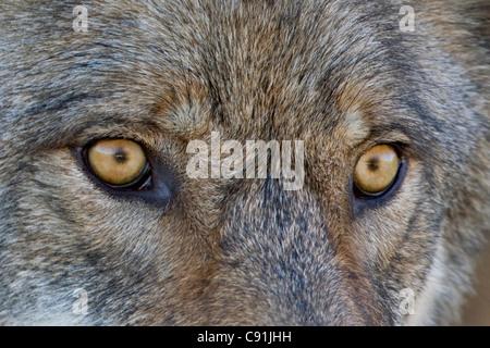 Close up of face and eyes of a Gray Wolf, Denal National Park, Interior Alaska, Autumn - Stock Photo