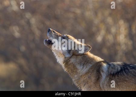 Gray Wolf howling, Denal National Park, Interior Alaska, Autumn - Stock Photo