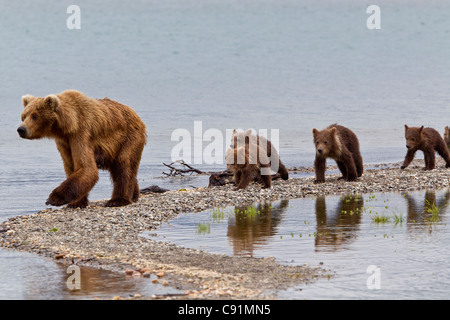 A Brown Bear sow leads her four spring cubs on a narrow spit, Brooks Camp, Katmai National Park, Southwest, Alaska - Stock Photo