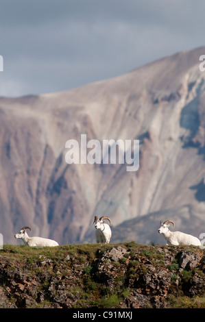 A trio of Dall sheep rams rests on a rock ledge near Polychrome Pass in Denali National Park & Preserve, Interior - Stock Photo