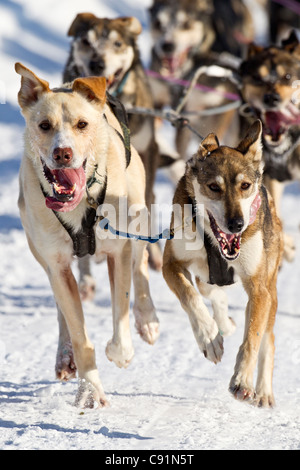 Jason Dunlap's team race down the trail during the 2011 Fur Rondy Open World Championship Sled Dog Race, Anchorage, - Stock Photo