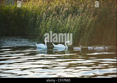 Swans and goslings in still lake - Stock Photo