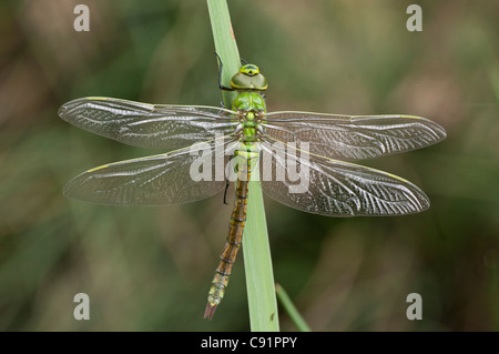 Female Emperor newly emerged drying its wings in preparation for its first flight - Stock Photo