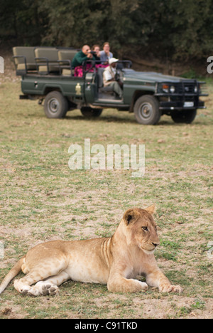 Lions and their cubs can be seen on safari in South Luangwa National Park Zambia Africa. - Stock Photo
