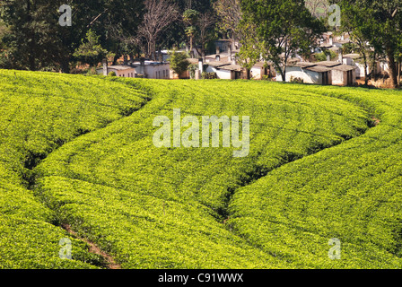 Tea fields make strking patterns in the Lujeri Tea Estate on the southern slopes of Mulanje Mountain. - Stock Photo
