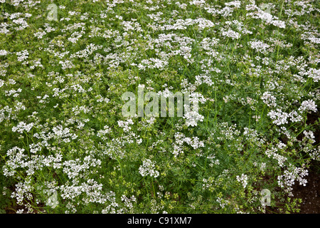 Coriander flowering in field, also known as Cilantro. - Stock Photo