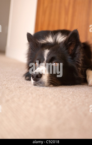 The Border Collie is a herding dog breed developed in the Anglo-Scottish border region for herding livestock, especially - Stock Photo