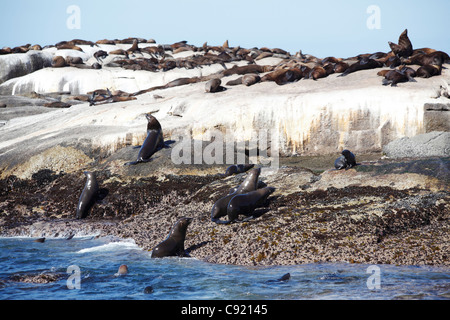 On Duiker Island off the coast near Cape Town at Hout Bay, there are colonies of Cape Fur seals, Arctocephalus pusillus. - Stock Photo