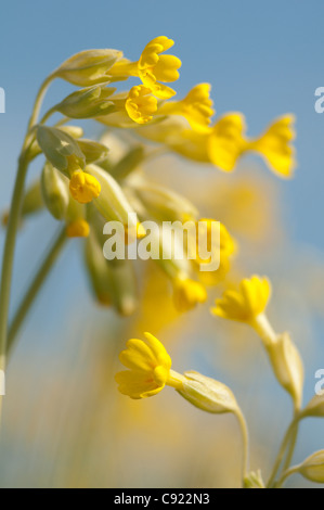Primula veris, commonly known as cowslips, on the earthworks of the Roman amphitheatre at Hunters Race. - Stock Photo