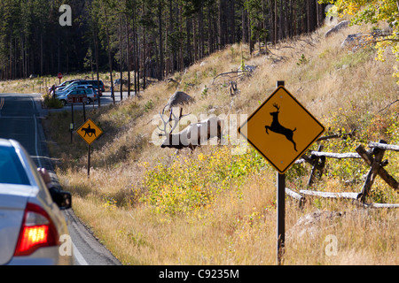 Amusing image of an elk walking from the woods toward the road in front of a deer crossing sign in Rocky Mountain - Stock Photo