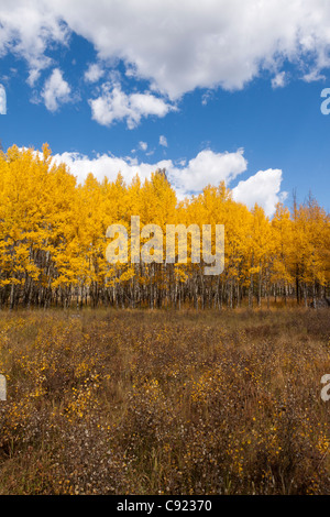 Grove of aspen trees with glowing yellow leaves growing in a grassy meadow - Stock Photo