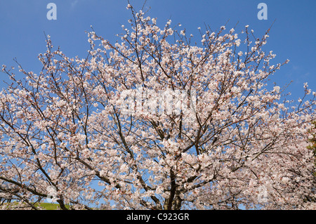 There is a park near Tokyo called Nozomi Kouen Park. The Park is famous for the cherry blossom in May as are many - Stock Photo