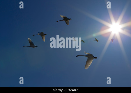 Trumpeter swans in flight  during Spring migration, Marsh Lake, Yukon Territory, Canada - Stock Photo