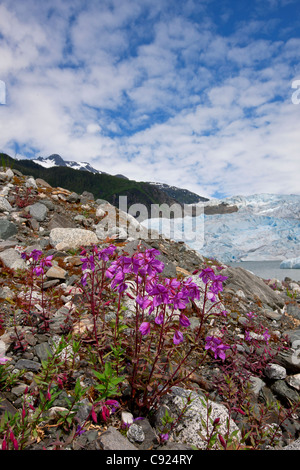 Dwarf Fireweed blooms with Mendenhall Glacier in the background, Tongass National Forest, Juneau, Southeast Alaska, - Stock Photo