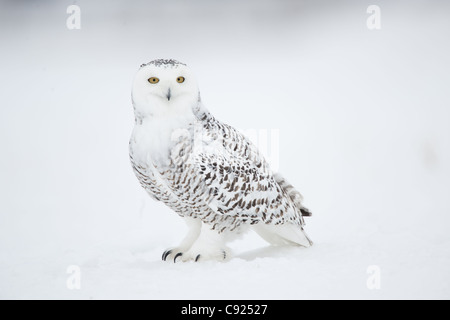 Snowy Owl on snow, Saint-Barthelemy, Quebec, Canada, Winter - Stock Photo