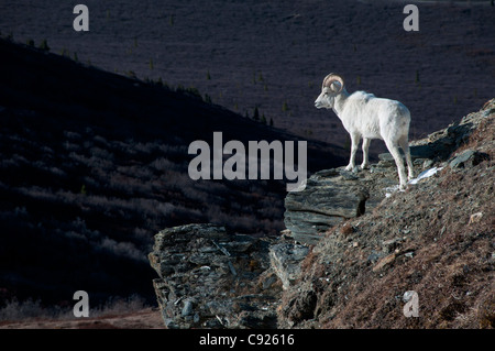 Dall Sheep standing on a steep slope overlooking the valley below, Denali National Park and Preserve, Interior Alaska, - Stock Photo