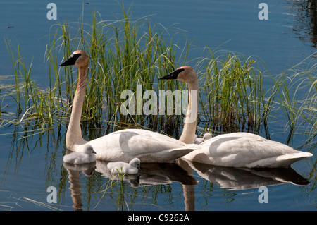 Pair of Trumpeter Swans and chicks swim in a lake in the Yukon Territory, Canada, Summer - Stock Photo