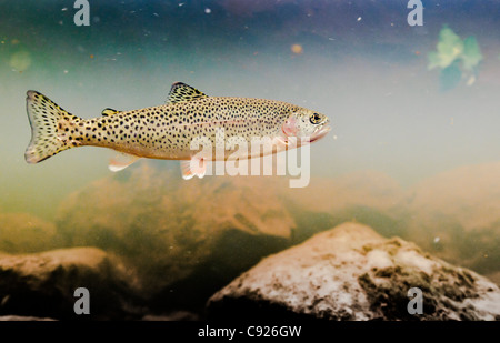 Underwater view of an adult coastal Cutthroat trout in the tannin stained water of 18-mile Creek, Copper River Delta, - Stock Photo