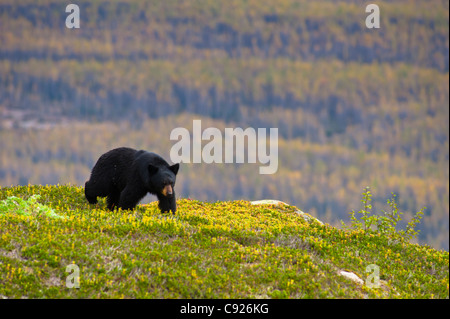 A black bear foraging for berries near the Harding Icefield Trail at Exit Glacier, Kenai Fjords National Park, Seward, - Stock Photo